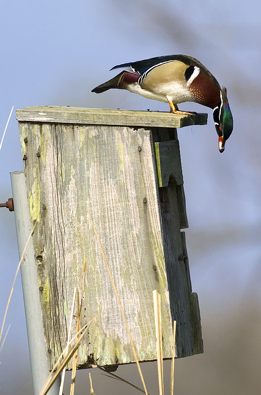 Building duck houses is a great conservation activity for Building a duck house shelter