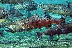Washington Record Salmon Season