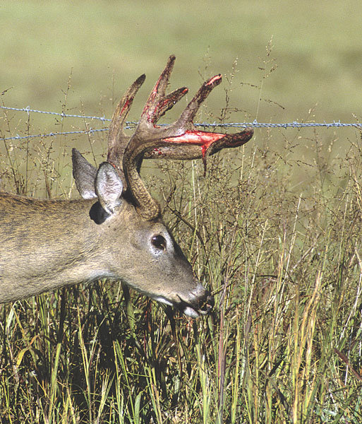 How Much do a Buck's Antlers Grow in the Summer?