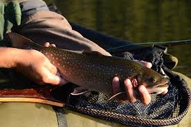 brook trout fishing