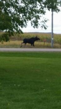 WI Moose Sighting