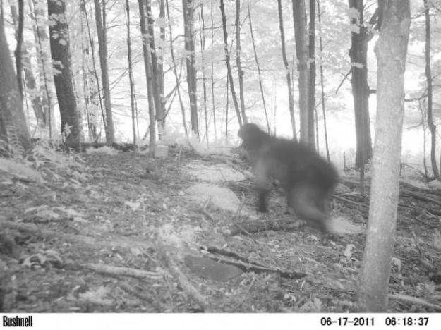 Bigfoot trail cam picture