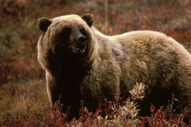 yellowstone grizzly hunt
