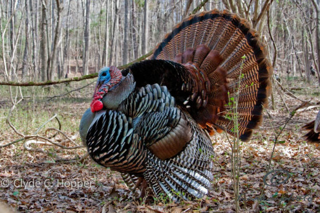 Spring Turkey Tips